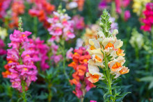 Beautiful Antirrhinum Majus Dr...