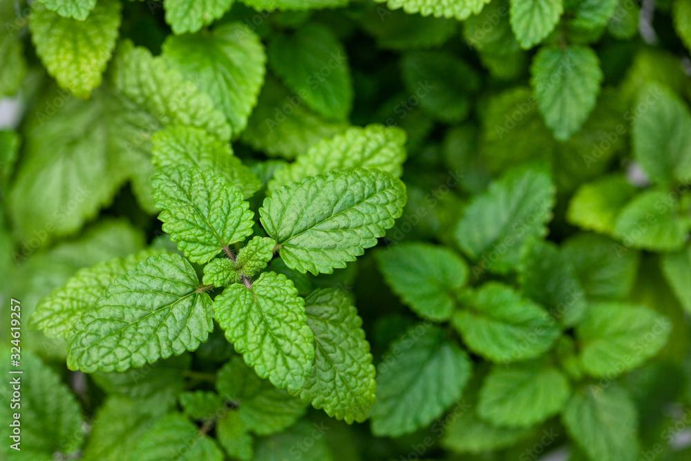 Fototapeta lemon balm (melissa) herb leaves closeup