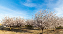 Blossoming Almond Trees In The...