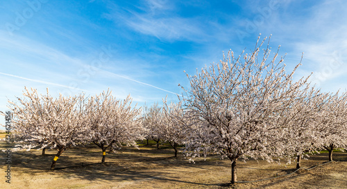 Photo Blossoming Almond Trees in the Spring