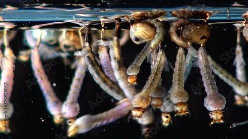Mosquito Larvae and Pupae in polluted water. Culex pipiens the common house - 324628057