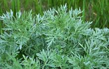 Bitter Wormwood (Artemisia Absinthium) Bush Grows In Nature