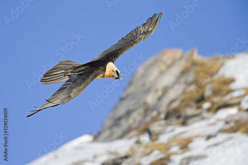 Fototapeta An adult Bearded vulture soaring at high altitude infront of a blue sky in the Swiss Alps. obraz