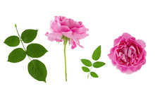 Two Pink Vintage Rose Flower Head And Green Leaves Isolated On White Background