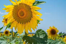 Blooming Sunflowers Field On Blue Sky Background