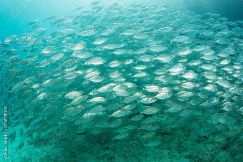 Fotografija A large school of Yellowstripe scad swim in Alyui Bay, Raja Ampat, Indonesia