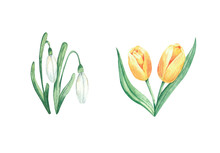 Watercolor Painting, Tulips And Snowdrops. Single Element.