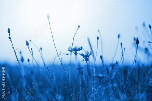 cornflowers-in-wheat-field-on-sunset-color-of-the-year-2020-classic-blue-pantone