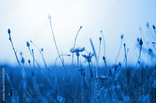 cornflowers-in-wheat-field-on