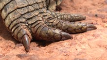 Nile Crocodile Legs Toe And Cl...