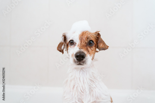 cute lovely small dog wet in bathtub, clean dog with funny foam soap on head. Pets indoors © Eva