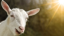 Happy Laughing Goat Illuminate...