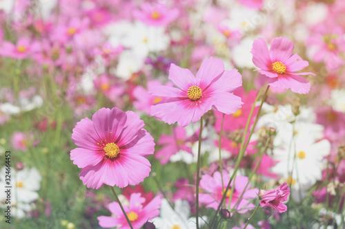 Pink cosmos flower blooming cosmos flower field, beautiful vivid natural summer garden outdoor park image Wallpaper Mural