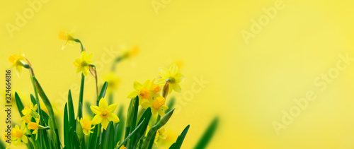 Yellow daffodil flowers Poster Mural XXL