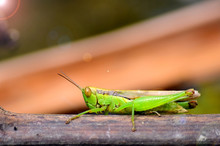 Rice Grasshoppers - Close Up D...