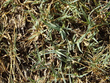 Crabgrass Taking Over Lawn