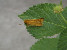 Fiery Skipper Moth On A Lantana Leaf
