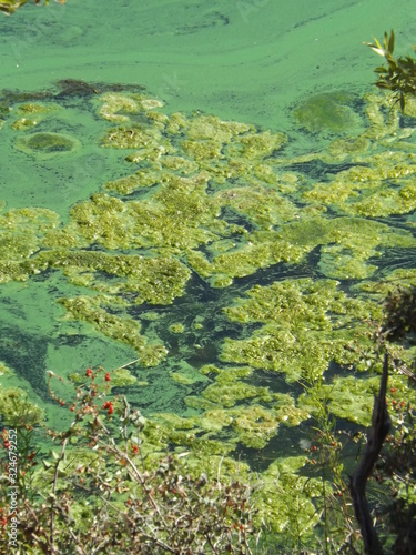 Stagnant Bacterial Algae Bloom in Lake Water Canvas Print