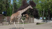 Giraffe Walks And Chews At Open Air Zoo In Slow Motion