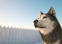 Husky On Snow