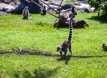 Ring Tailed Lemur Outdoor In P...