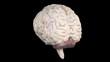 Realistic human brain rotating.