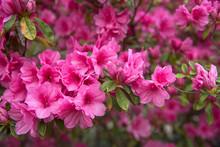 Pink Azaleas In Full Bloom During Springtime