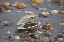 Tilted Open Clam Shell On Beach