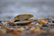Lone Open Clam Shell On Beach