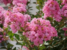 Clusters Of Bright Pink Crape ...