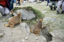 Prairie Dog (Himalaya Marmot) ...