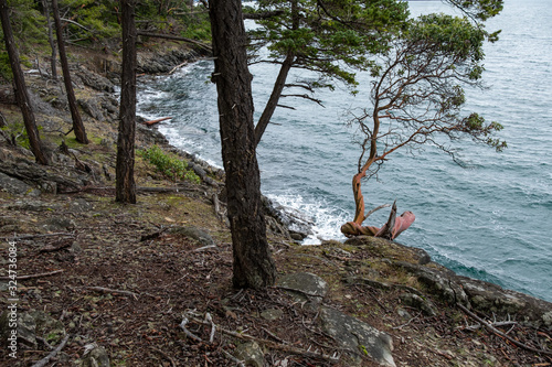 Photo one Arbutus tree on the edge of the cliff in front of the forest by the coast with few leaves on the tip of the branches facing the ocean under cloudy weather