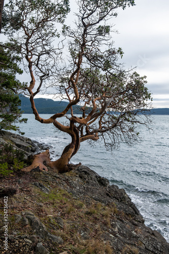 lonely Arbutus tree on the edge of the cliff by the coast with few leaves on the tip of the branches facing the ocean under cloudy weather Canvas Print
