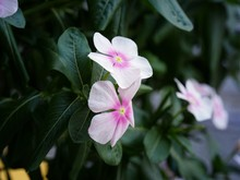 Light Pink Periwinkle Flowers,...