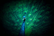 Peacock Opens A Beautiful, Dreamy And Mysterious Tail.