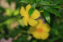 A Yellowbell Flower Partially ...