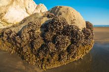Big Rock On The Beach, Occupied By Shells And Lichens. Avila Beach, California Coastline