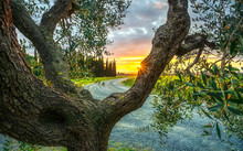 Olive Tree Branches And Bark, ...
