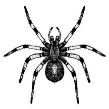 Hand Drawn Vector Tarantula