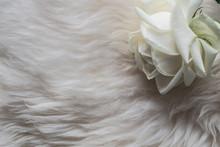 Cream Rose On White Sheep Fur ...
