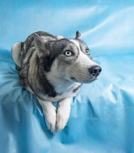Gey And White Husky Dog With Blue Eyes On A Blue Background