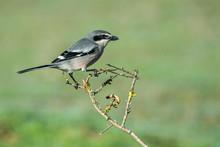Southern Gray Shrike On Its Br...