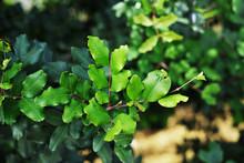 Carob Tree (Ceratonia Siliqua)...