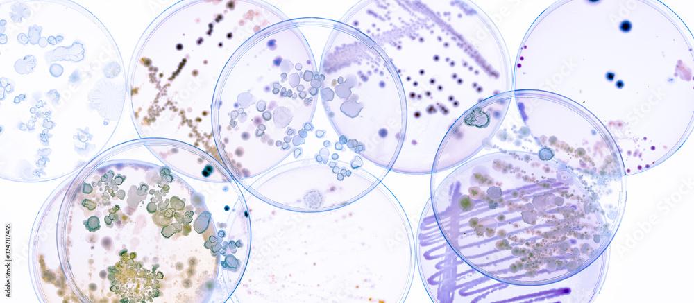 Fototapeta Growing Bacteria in Petri Dishes on agar gel Scientific experiment.