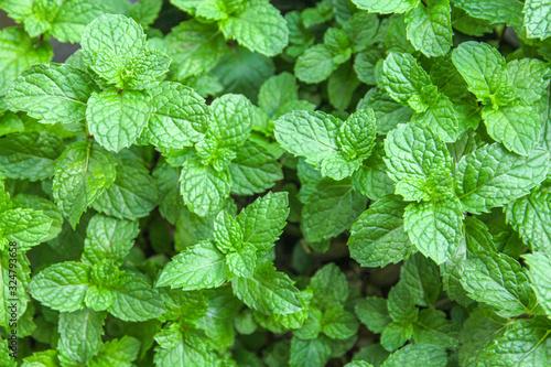 Obraz fresh mint leaves in the garden - fototapety do salonu