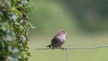 A Sparrow Cautiously Peeking O...