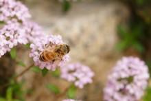 タイムに蜂