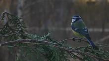 Blue Tit On A Thuja Branch.