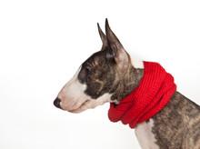 Dog Breed Mini Bull Terrier In...