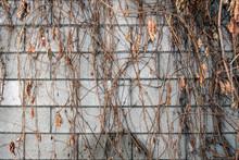 Dry Ivy On A Brick Wall. Brick...